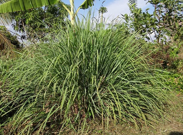 What are the benefits of feeding lemongrass to rabbits?