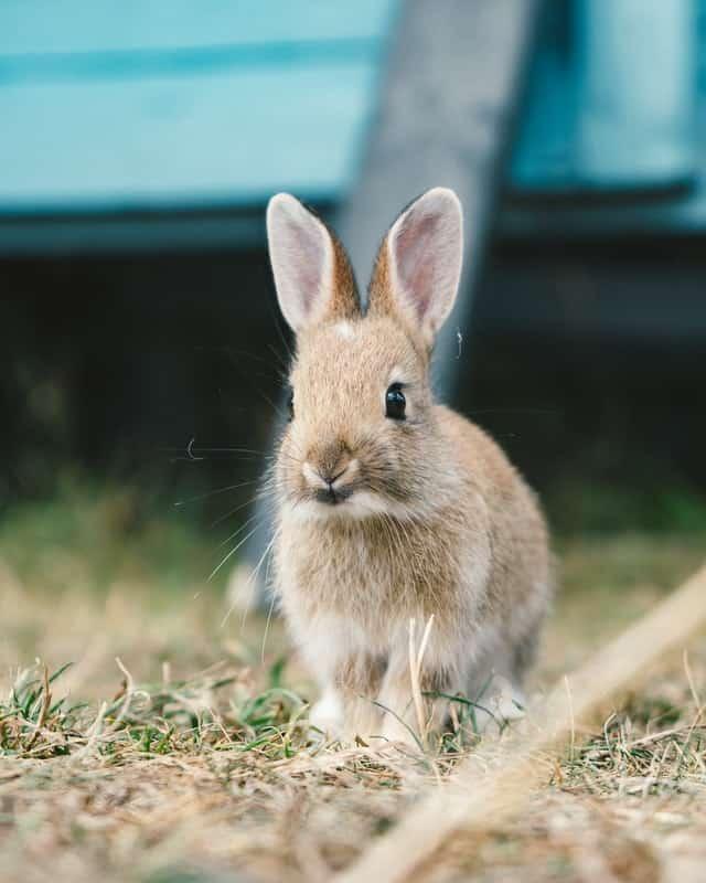 Risk of overfeeding kumara/sweet potato to rabbits.