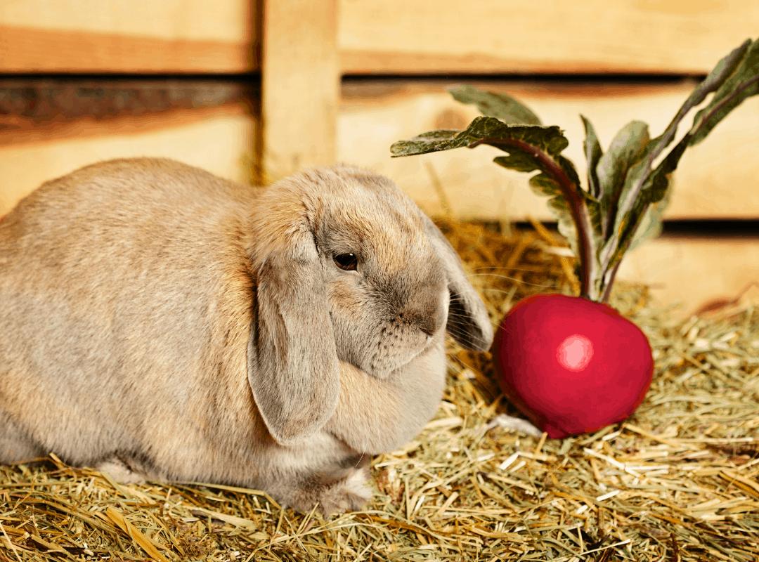 Can Rabbits Eat Beet Greens   Bunny Horde